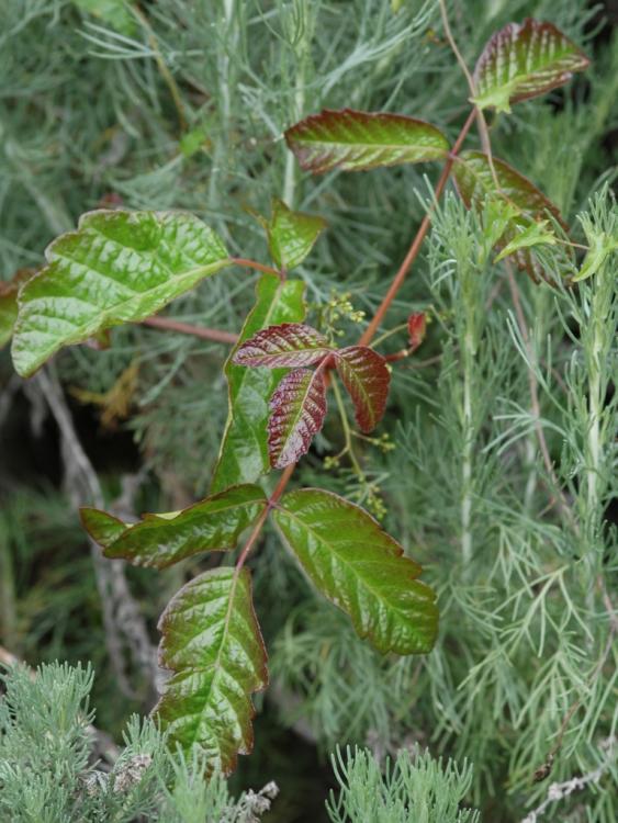 Posion Oak